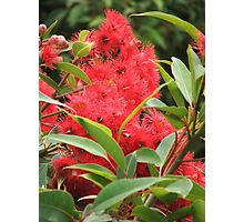 Red Eucalyptus Photographic Print