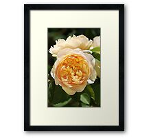 Yellow Rose Delights Framed Print
