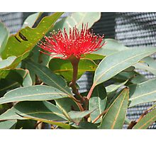 Single Red Bloom Photographic Print