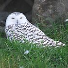 Snowy Owl by deb cole