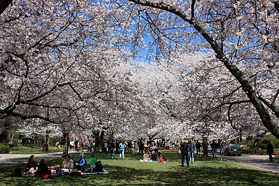 Cherry Blossoms Park by Robert Stephens