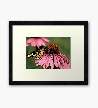 Monarch on Echinacea Framed Print