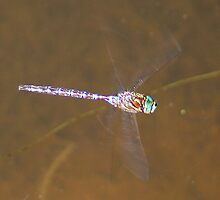 Dragonfly in Flight over a Pond * by Laurel Talabere