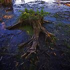 Old Stump in the Bog by RandiScott