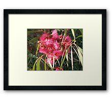 Eucalyptus sideroxylon Rosea. Framed Print