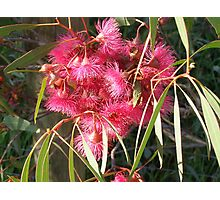 Eucalyptus sideroxylon Rosea. Photographic Print