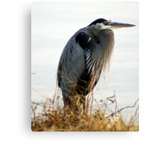 A Magnificent BLUE HERON.....on a cold Fall day..... Canvas Print