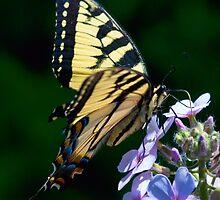 swallowtail butterfly by KathleenRinker