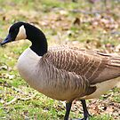 Canadian Goose by Ruth Lambert