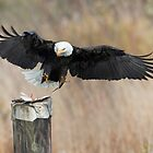 Eagle Attack by David Friederich