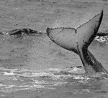 Humpback Whale Gentle Giant of the Sea by Darren68