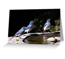 Scrubbing Up - Scrub Jays in Madera Canyon, Arizona Greeting Card
