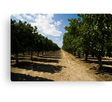 Pistachio Orchard Canvas Print