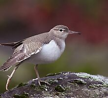 SPOTTED SANDPIPER by Sandy Stewart