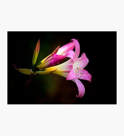 Naked Lady (Amaryllis belladonna ) Photographic Print