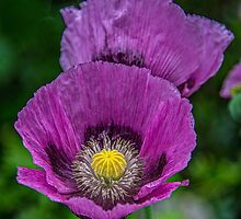 Lilac Poppy by Chris Thaxter