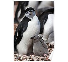 Chinstrap penguin with 2 chicks Poster
