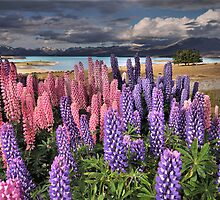 Lupins and a Lake by Matt Halls