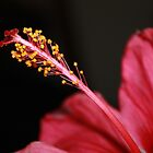 Hibiscus Pollen by indi09