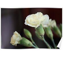 White Carnations Poster