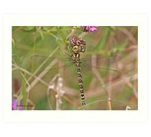 Southern Hawker dragonfly Art Print