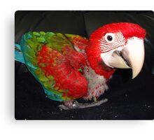macaw 10 weeks Canvas Print