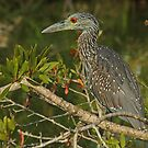 Juvenile Night Heron by Robert Abraham