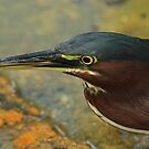 Green Heron Portrait by Robert Abraham