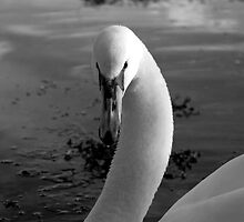 Male Swan by GeorgiaConroy