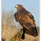 Golden eagle by AngiNelson