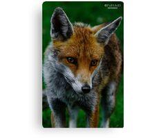 Prowling Fox Canvas Print