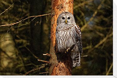 Barred Owl in Pine Tree -  Brighton, Ontario by Michael Cummings