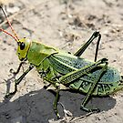 mexican grasshopper by Eliza1Anna
