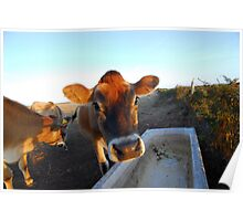Jersey Cow Poster