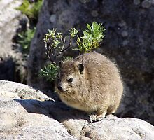Hyrax on Table Mountain by Laurel Talabere