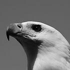 White-bellied Sea Eagle by Matt  Harvey