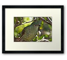 Female Satin Bowerbird  Framed Print