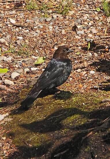 Brown Headed Cowbird by Vickie Emms