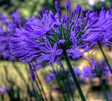 Blue Agapanthus by Elana Bailey