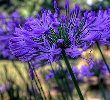 Blue Agapanthus by Elana Bailey