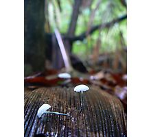 Mycena albidocapillaris Photographic Print
