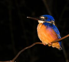 Azure Kingfisher by Nephrurus
