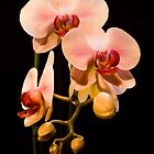 Orchid by Marc Garrido Clotet