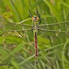 female Emperor Dragonfly by Hugh J Griffiths