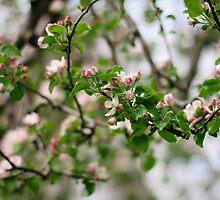 Apple Blossoms by AbigailJoy