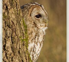 Tawny owl in tree by Angi Wallace
