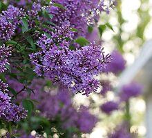 Lavender Lilacs by AbigailJoy