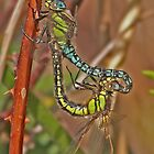 Hairy Dragonflies in mating wheel by Hugh J Griffiths