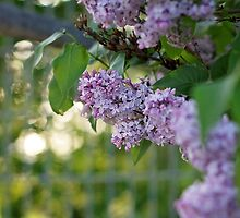 Stop to smell the lilacs by AbigailJoy