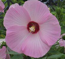 Lt. Pink Hibiscus by art2plunder